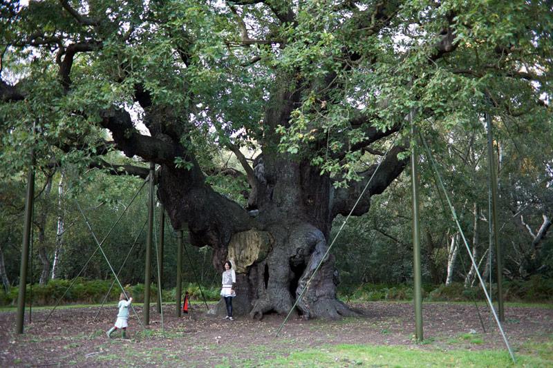 Så här ser The Major Oak ut idag - bilderna ovan är fejk för att se ut som att de fotar här. Men detta är äkta vara!