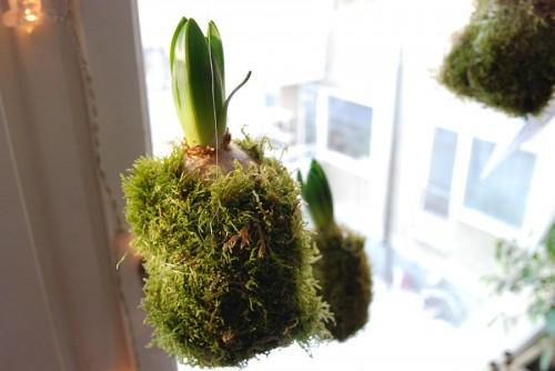 Hyacint inlindad i mossa i vårt fönster. (Foto Kurbits)