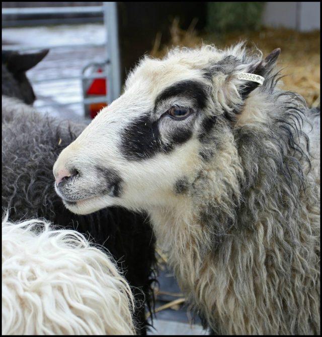 Bild lånad från Fårfest i Kils hemsida - fokus för fårfesten är förstås själva fåret - passa på att träffa dem och branschen kring ullen 2-4 mars. I Kil. (Foto varmlandsbilder.se)